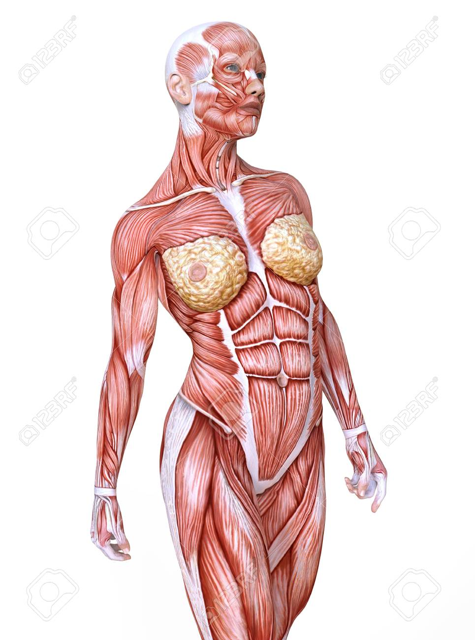 93762946-female-anatomy-and-muscles-body-without-skin-isolated-on-white.jpg